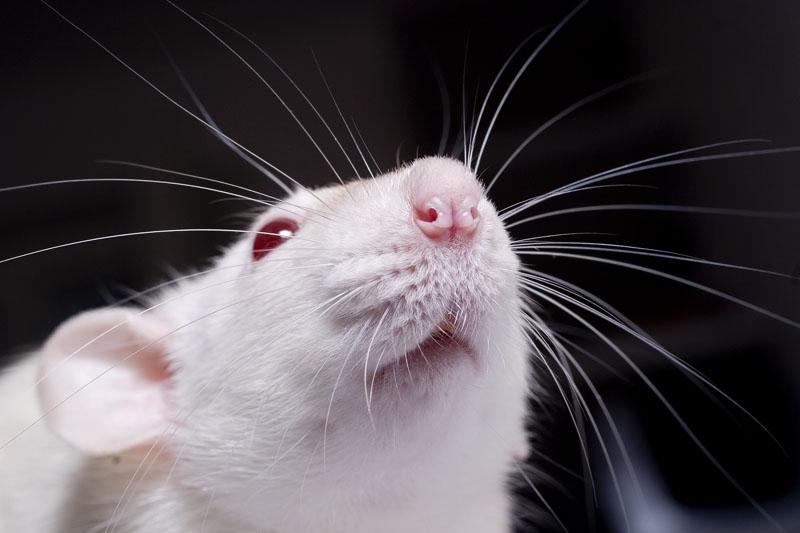 civet cat fragrance