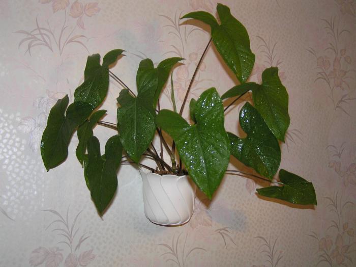 Комнатные цветы филодендрон фото