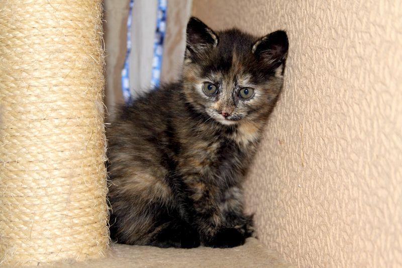 фото черепаховый британские котята