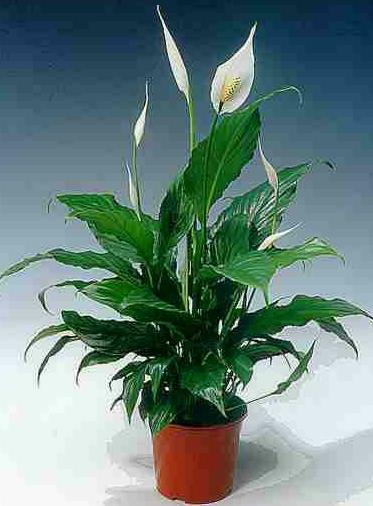 домашние цветы беленькие цветочки и тоненькие листики 1117384436