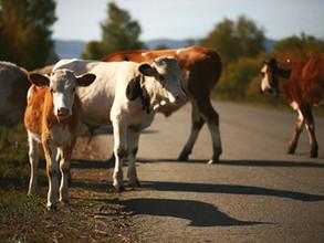 ДТП на саяногорской трассе – автомобиль врезался в корову