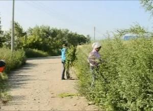 В Саяногорске выделены деньги на уничтожение конопли