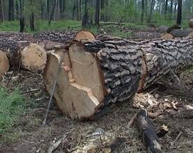 В Саяногорске возбуждено уголовное дело в отношении «черного» лесоруба