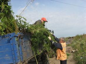 В Саяногорске закончили уничтожение конопли