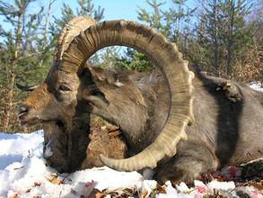 В Саяно-Шушенском заповеднике изучают козерога