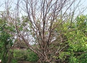 Саяногорские садоводы обеспокоены эпидемией рака