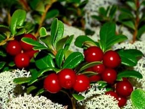 В Хакасии собирателей лесных ягод будут штрафовать