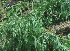 В Саяногорске уничтожено более двух тонн дикорастущей конопли