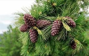 В Хакасии открыт сезон сбора кедрового ореха