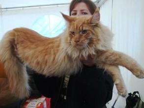 В Саяногорске состоится многопородная выставка кошек