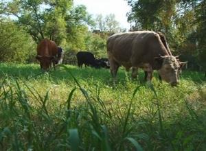 В Департамент соцзащиты Саяногорска пришло стадо коров