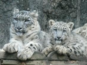 В Саяно-Шушенском заповеднике родились три котенка снежного барса