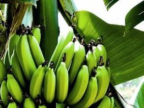 Таштыпский район принялся за выращивание бананов
