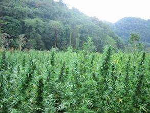 Два брата из хакасского села заготовили для себя 13 килограммов марихуаны