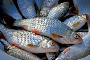В Хакасии арестовали груз со свежевыловленной рыбой
