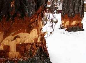 В Майна объявились лесные вандалы