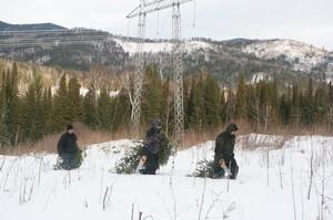 В Хакасии поймали елочных браконьеров