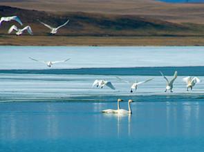 В Хакасию после зимовки вернулись лебеди