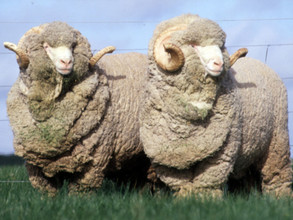 Животноводы Хакасии участвуют в Сибирско-Дальневосточной выставке племенных овец и коз