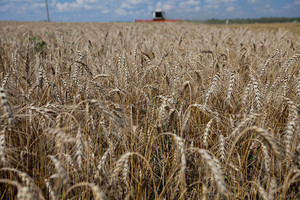 Россия – крупнейший в мире экспортер пшеницы