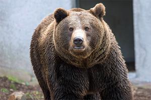 На Камчатке застрелили медведя-людоеда