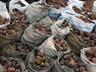 В Хакасии начался сезон сбора кедрового ореха