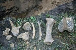 В поселке Черемушки найдены останки мамонта