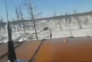 """Вахтовики хладнокровно задавили медведя """"Уралом"""" в Якутии 18+"""