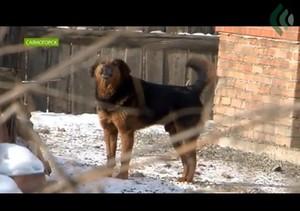 Бродячие собаки будут в 5 раз дороже обходиться бюджету Саяногорска