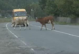С бродячими коровами в Саяногорске готовы бороться кардинально