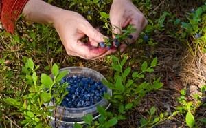 В Хакасии будет пресекаться досрочная заготовка лесных ягод и орехов