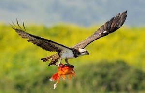 Хакасские ученые пересчитали «рыбных орлов»