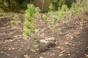 В лесах Хакасии хорошо прижились деревья - «новоселы»