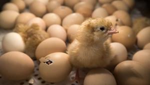 В Грузии из выброшенных на свалку яиц вылупились цыплята