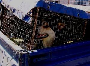 Отлов собак в Саяногорске начался не без эксцессов