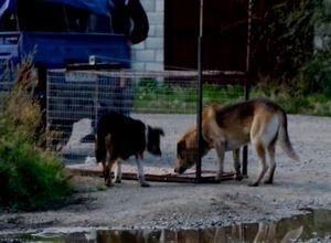 Съемочной группе «Первого городского» Саяногорска угрожали убийством за отлов бездомных собак