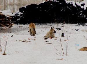 В Саяногорске неизвестные устроили стрельбу по собакам